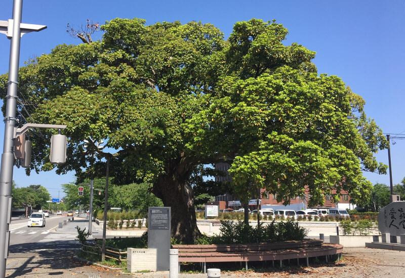 家老屋敷跡のタブの木